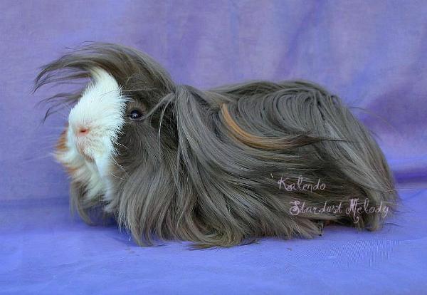 cochon d'inde de race péruvien long poils
